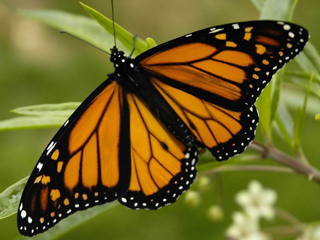 free monarch butterfly wallpaper download animals town
