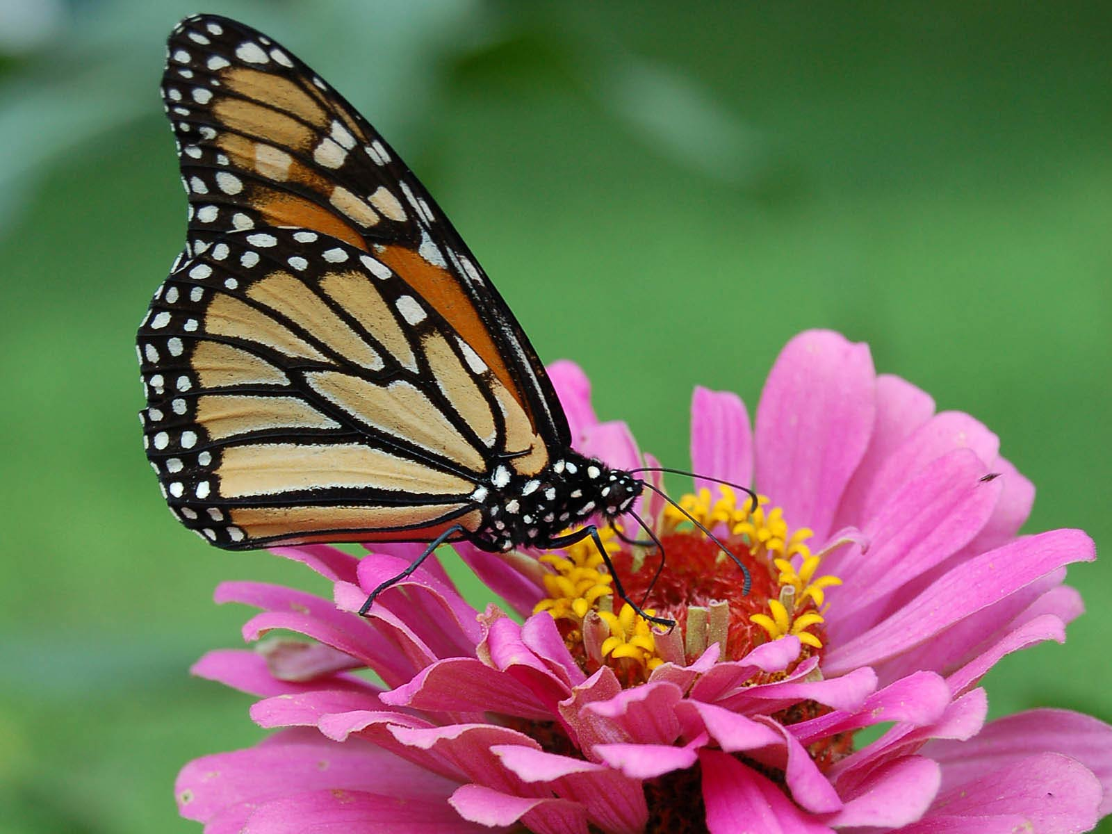 Monarch Butterfly Wallpaper And Background Animals Town