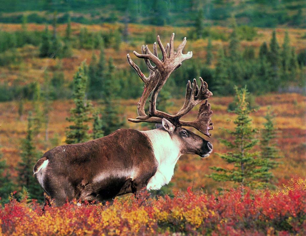 Moose Wallpaper Animals Town