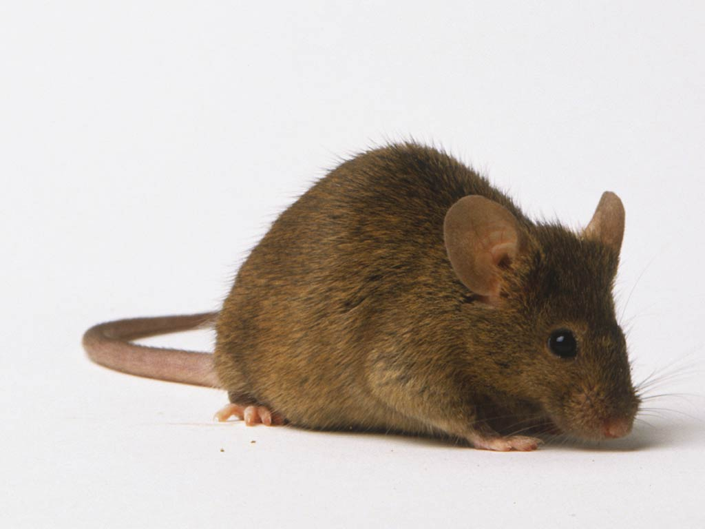 Free Mouse Wallpaper Wallpapers Download