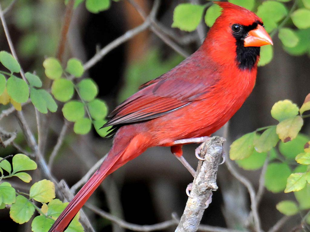 Northern Cardinal Desktop And Mobile Wallpaper Animals Town