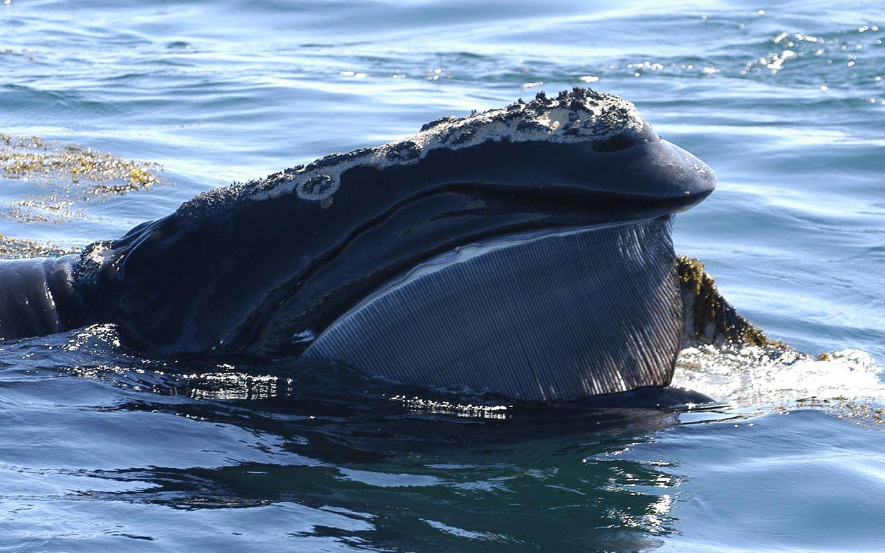 free Northern Right Whale wallpaper wallpapers download