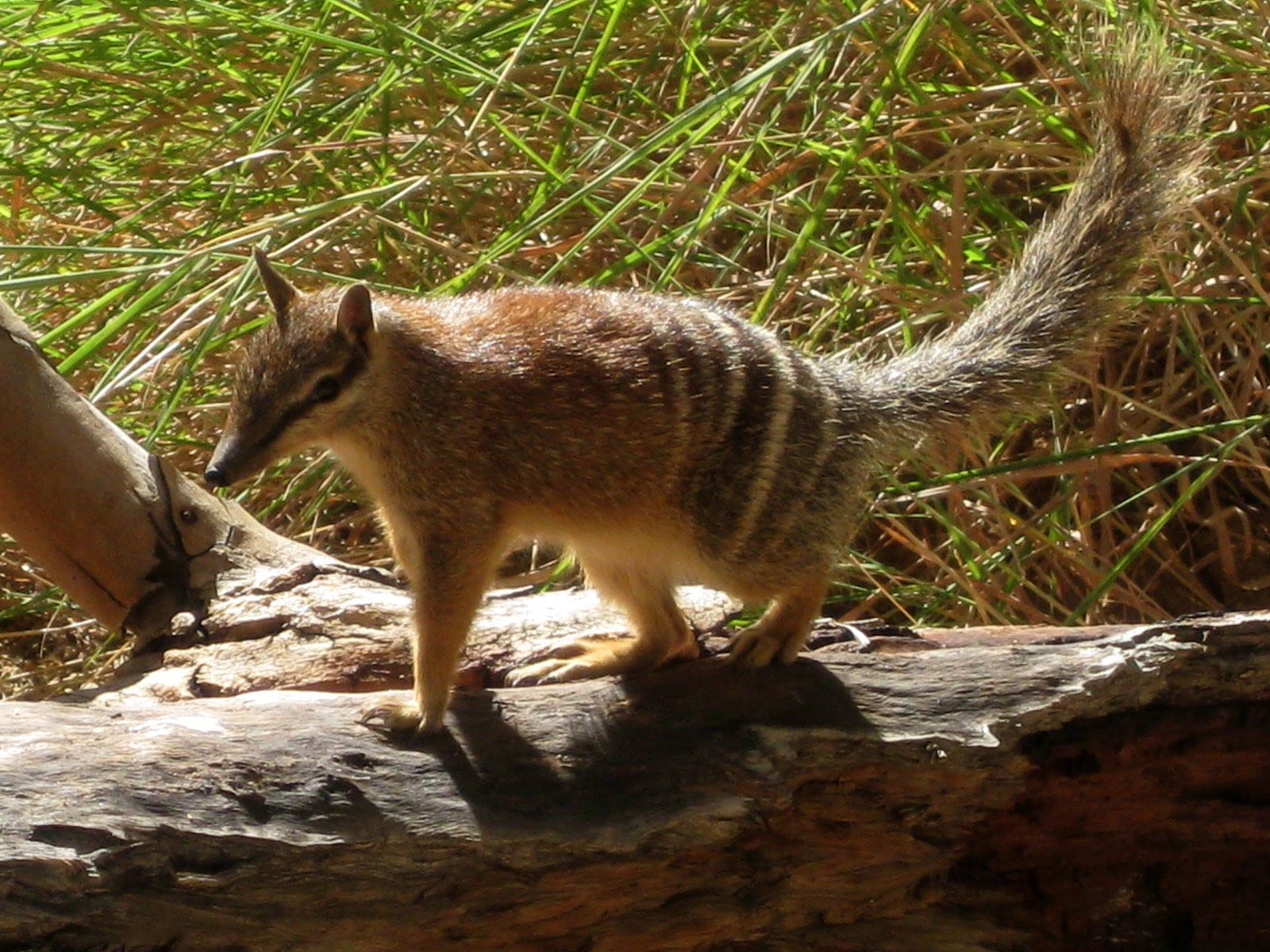 Free Numbat Wallpaper Wallpapers And Background