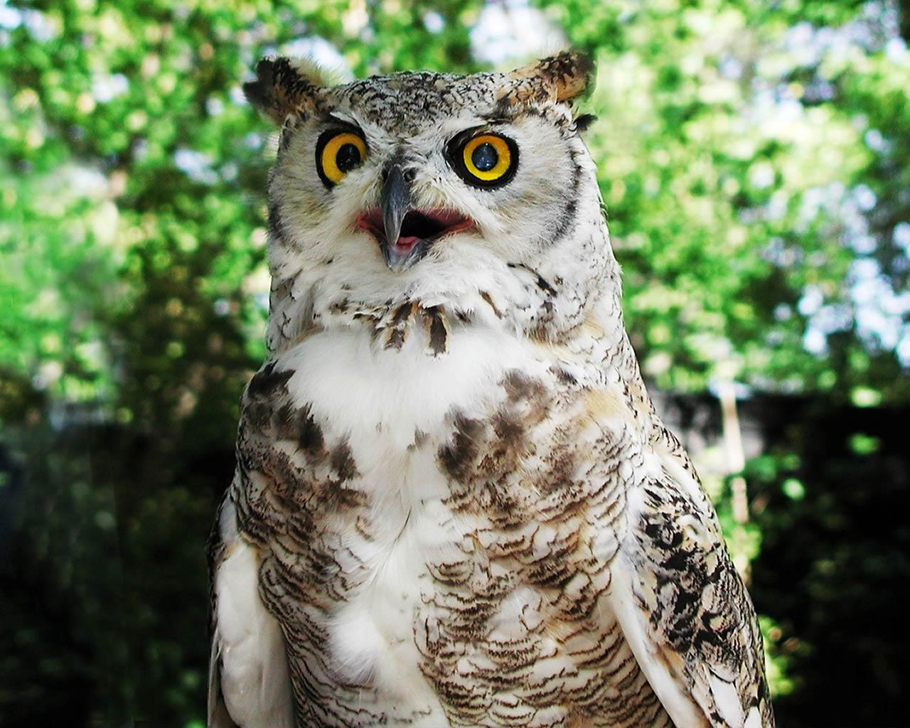 owl desktop and mobile wallpaper animals town