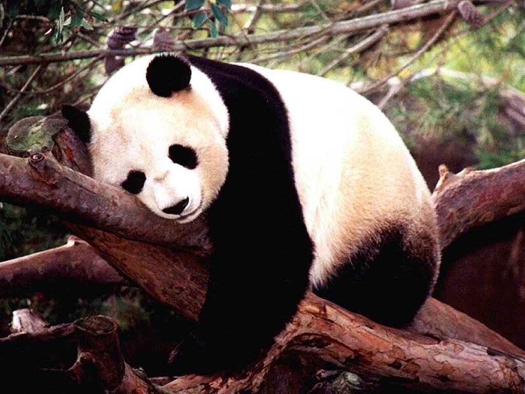 Free Panda wallpaper download. «