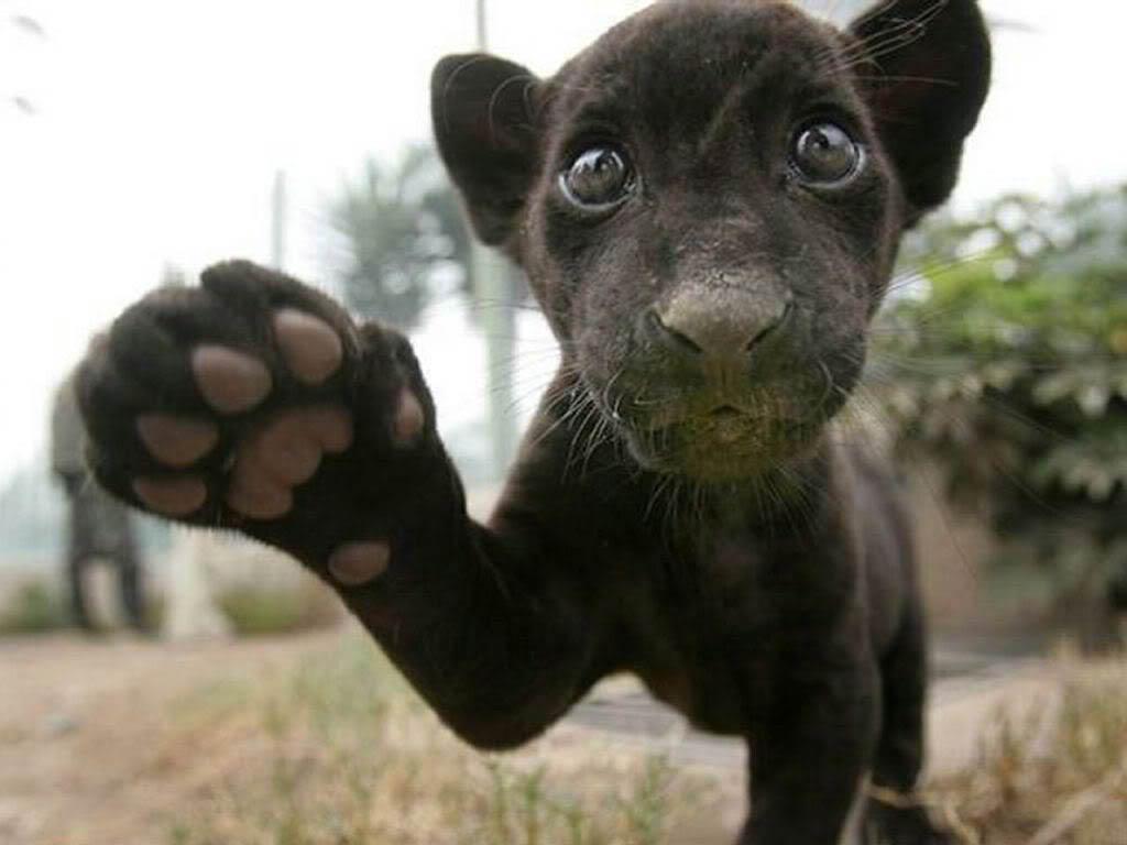 Panther Wallpaper - Animals Town