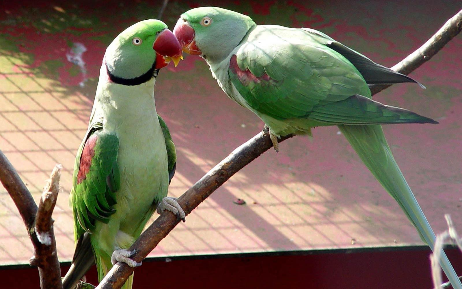 Parakeet Wallpaper Animals Town
