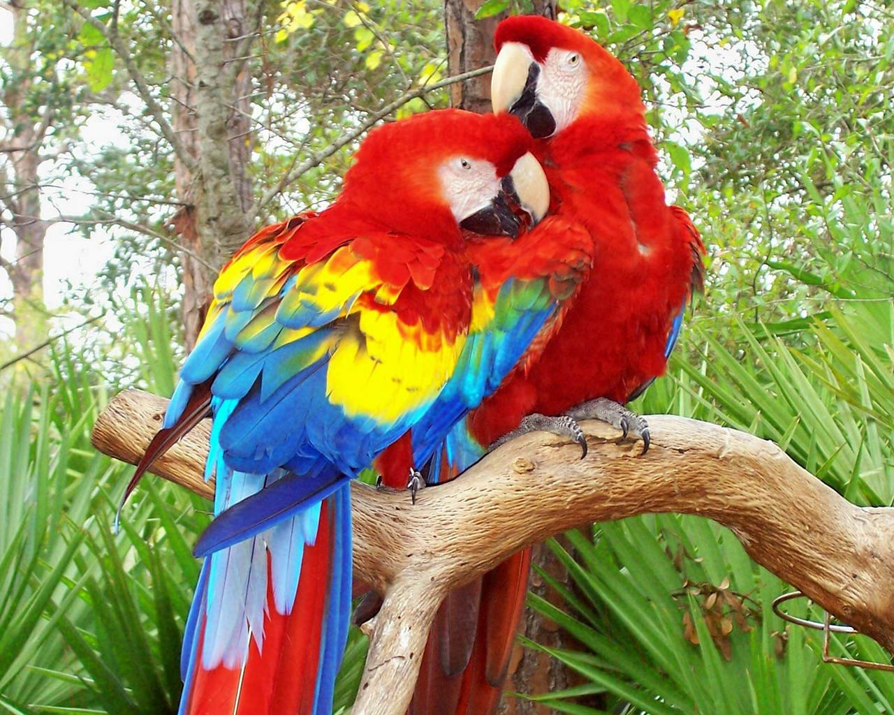 Parrot Wallpaper And Background Animals Town