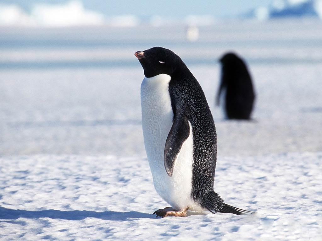 O G Penguin Penguin Wallpaper - An...