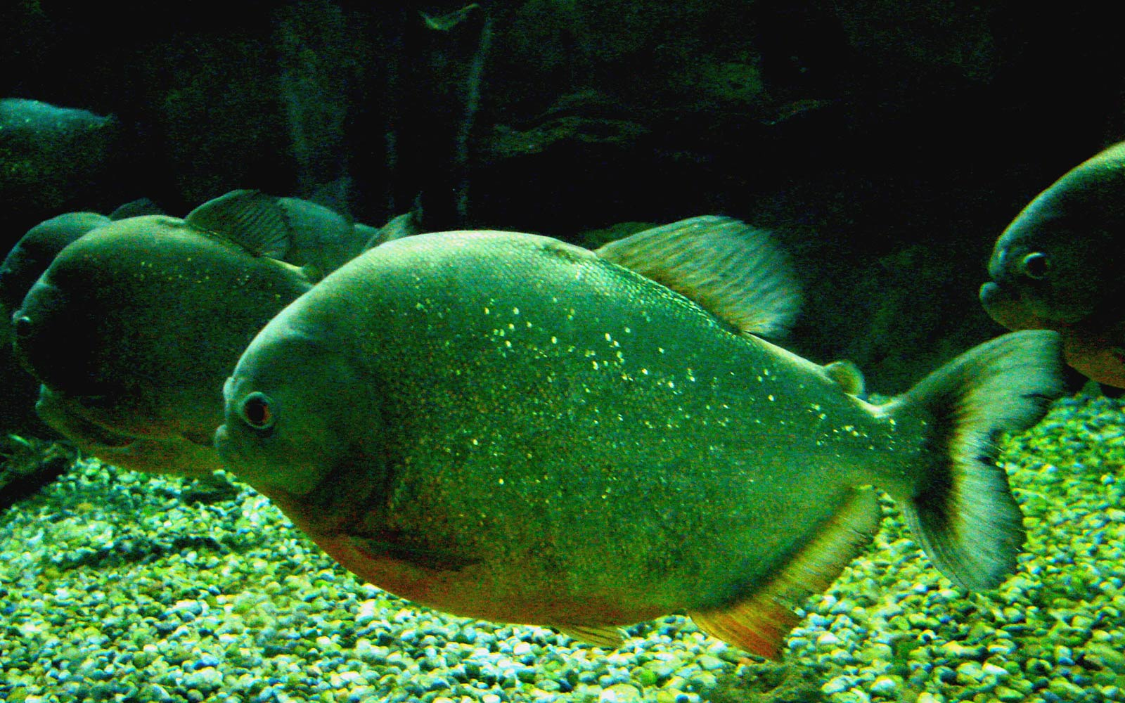 Piranha Wallpapers Animals Town