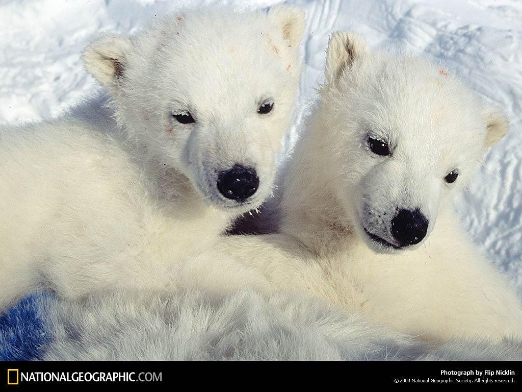 polar bear wallpaper and background - animals town