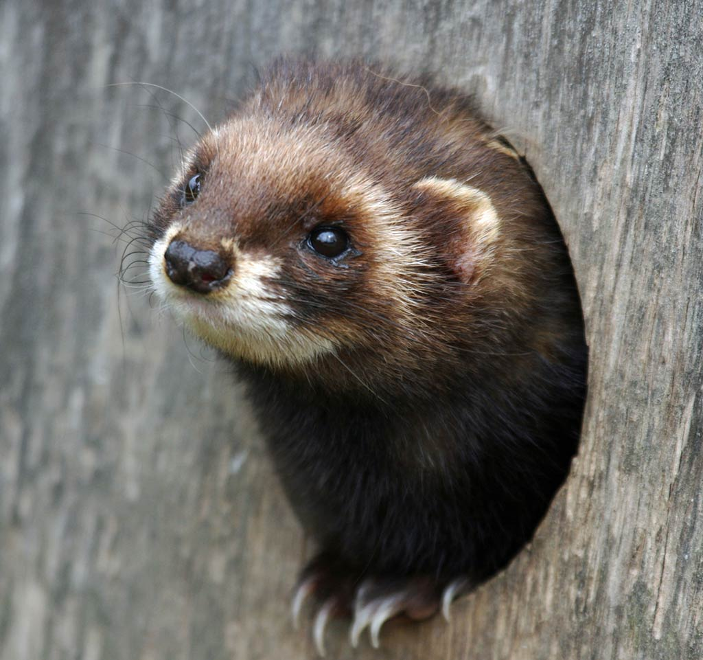 Polecat Wallpaper and Background - Animals Town