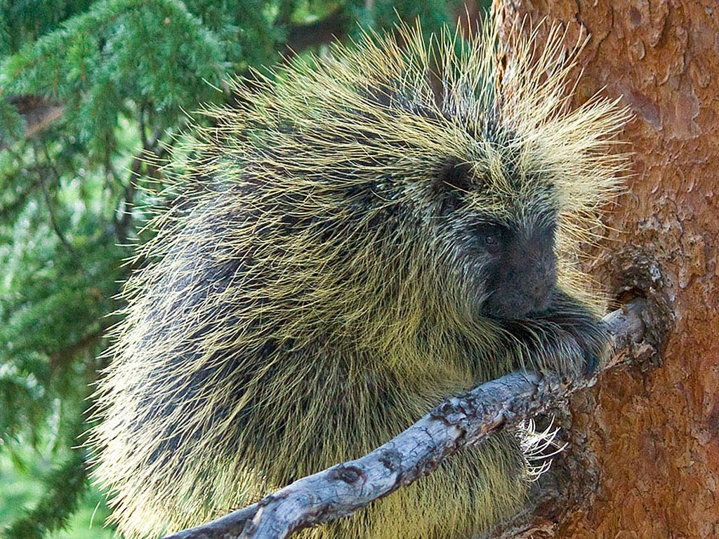 Porcupine Wallpaper Animals Town
