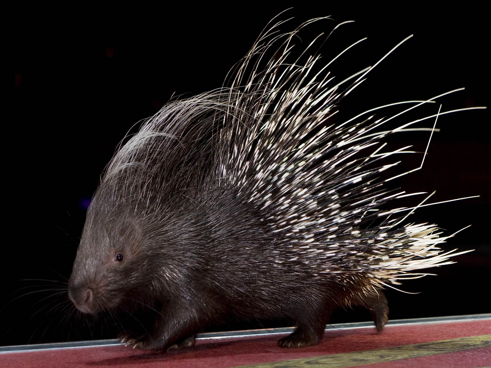 Free Porcupine Wallpaper Animals Town