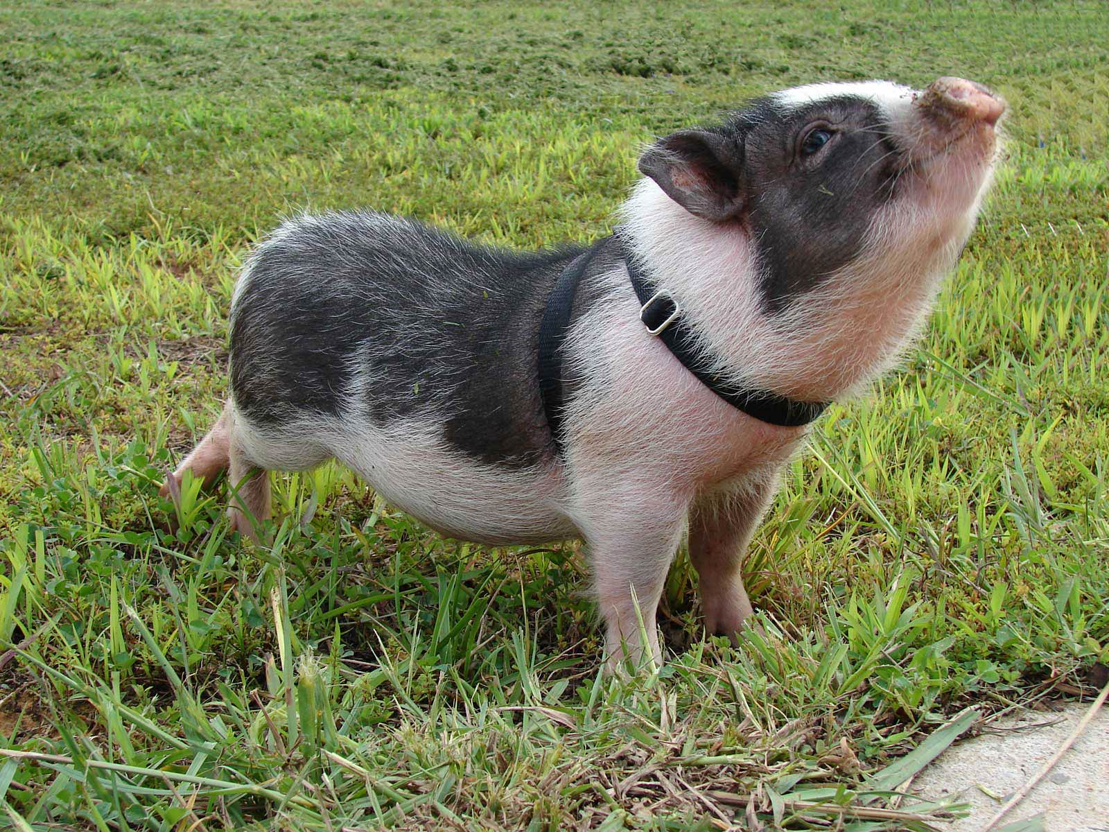 Free Potbellied Pig Wallpaper Wallpapers Download