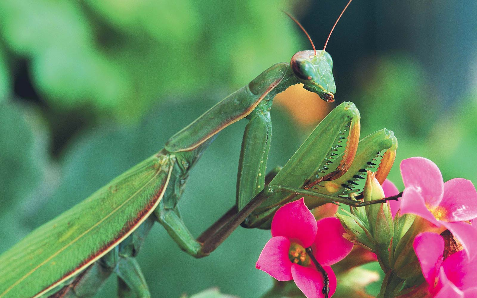 Praying Mantis Wallpaper And Background Animals Town
