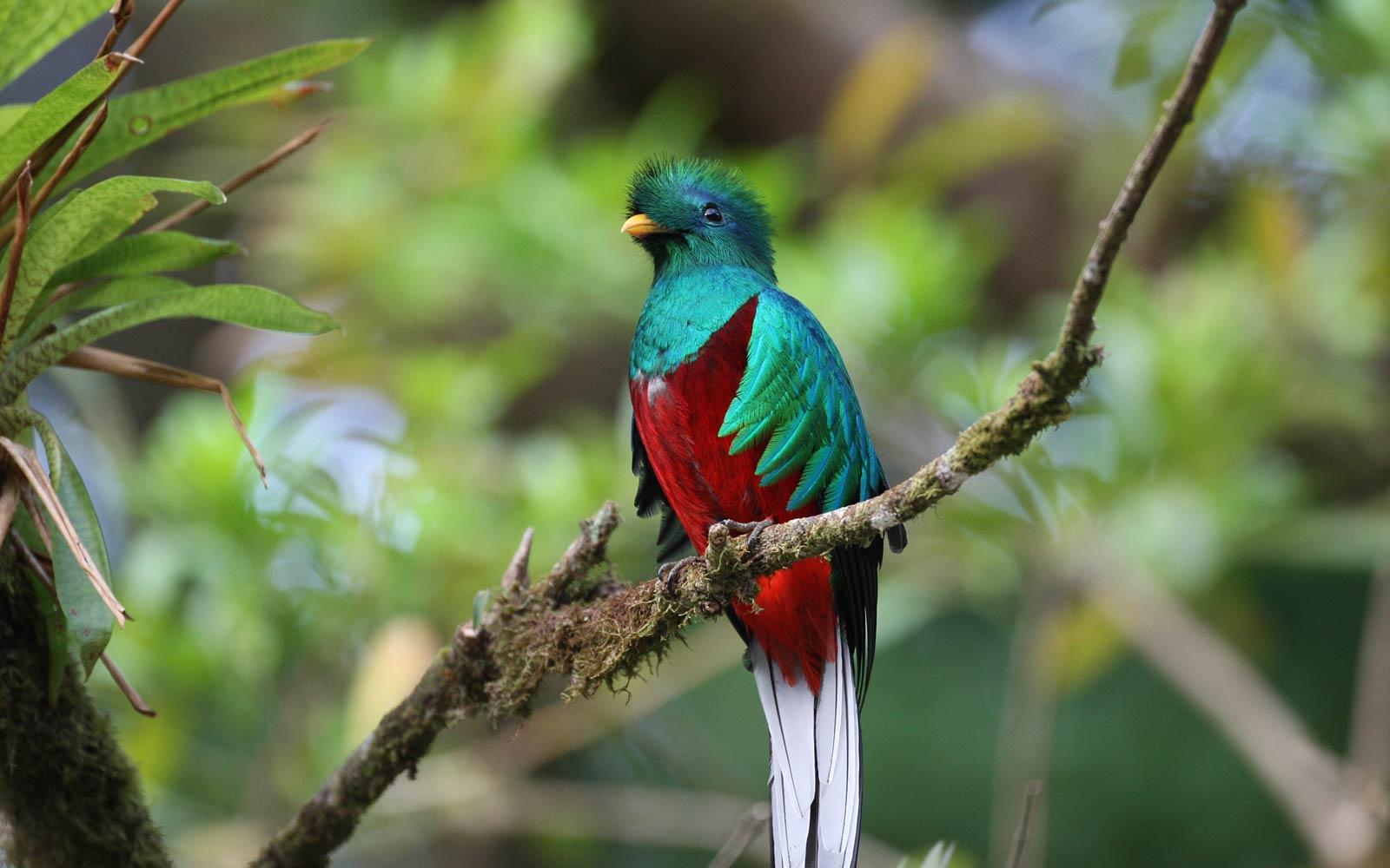 Quetzal Wallpaper Animals Town