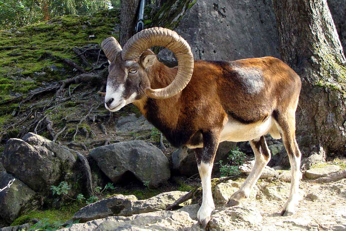 Free Ram Wallpaper download - Animals Town