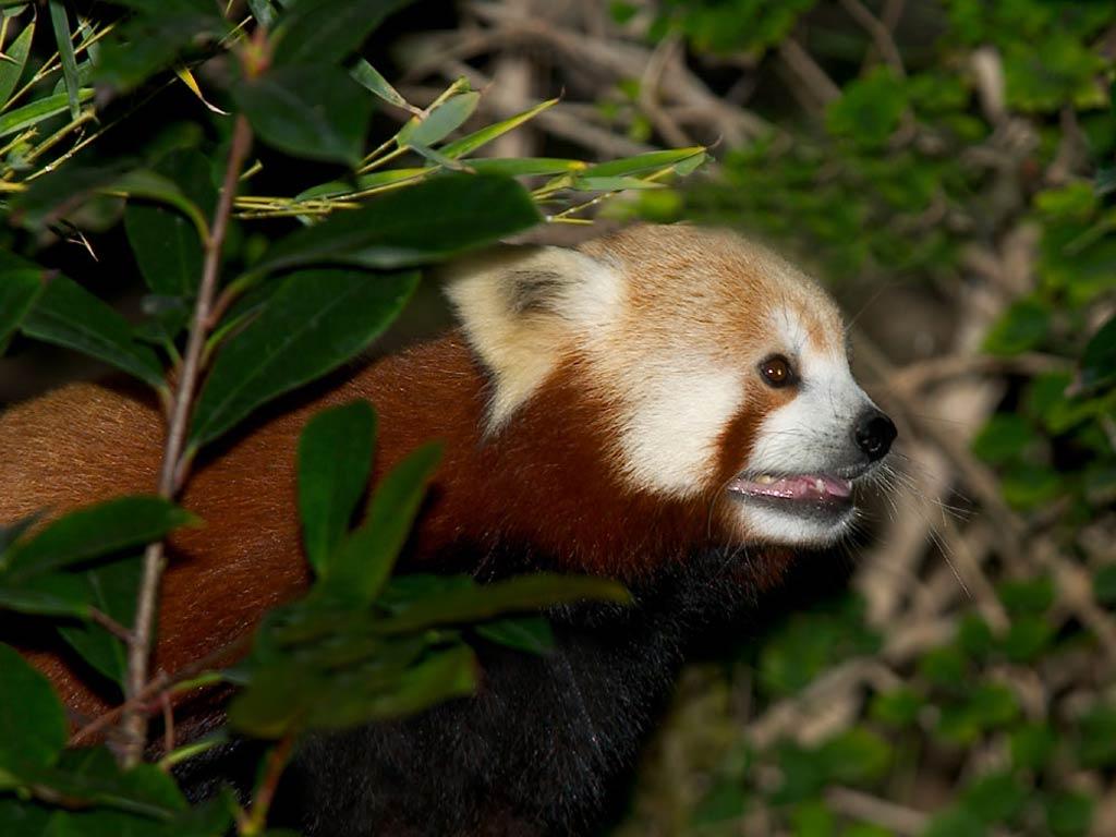 Red Panda Desktop And Mobile Wallpaper Animals Town