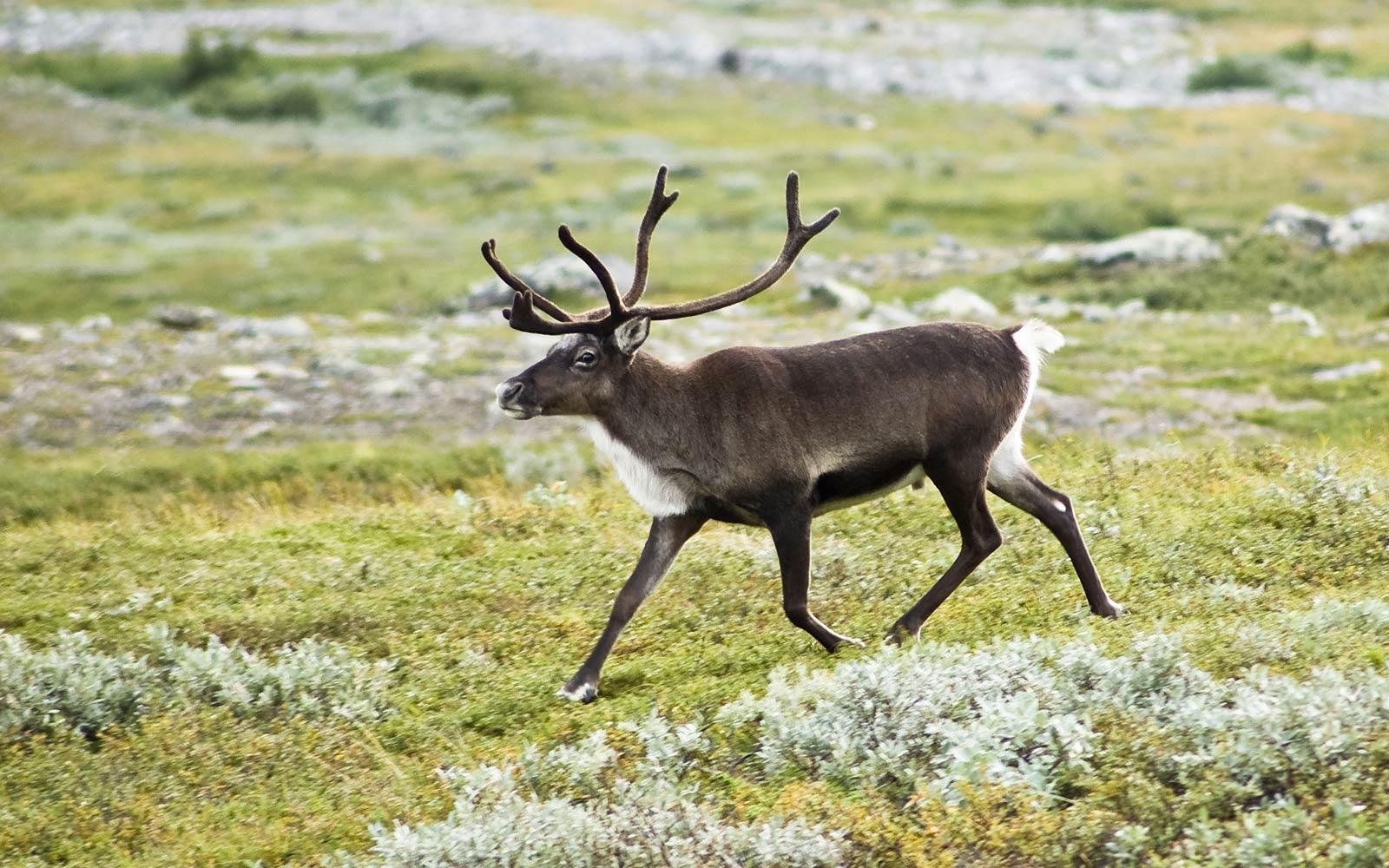 Free Reindeer Wallpaper Download Animals Town