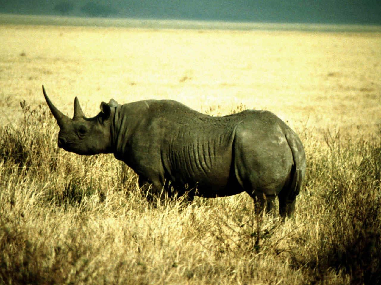 free rhinoceros wallpaper download - animals town