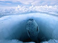 What Type Of Food Do Ringed Seals Eat