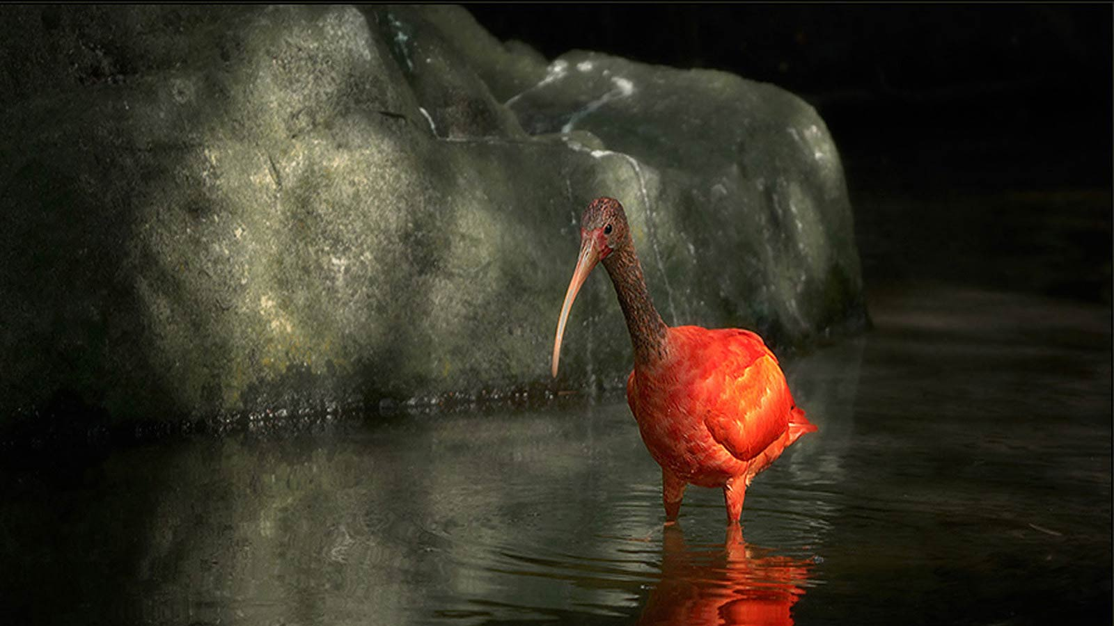 scarlet ibis parallelism Wouldn't you agree that it would help to understand the story if you knew what a scarlet ibis was the following site has a picture of the scarlet ibis the following site has a picture of the scarlet ibis.