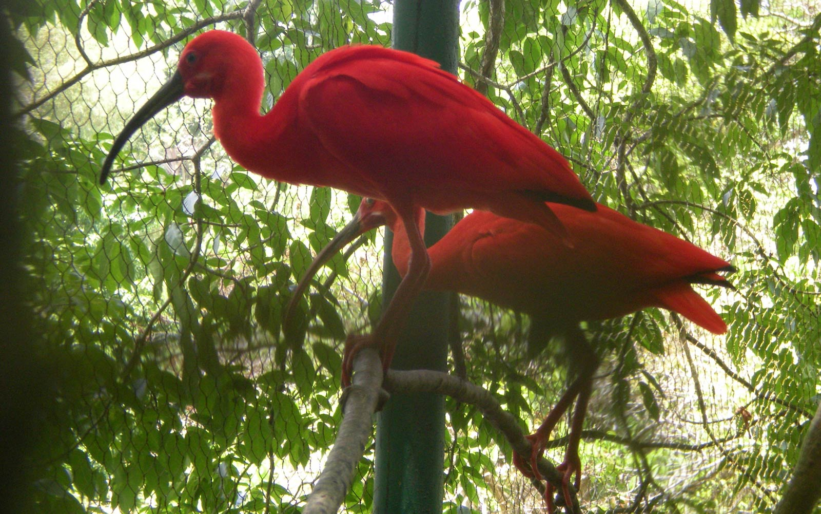 "scarlet ibis vs  ""the scarlet ibis"" literary analysis the scarlet ibis is a very well – elaborated and splendid story written by james hurst the author has describes the."