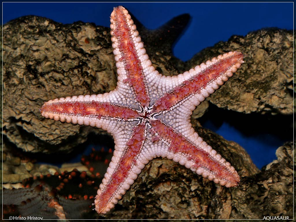 Seastar Wallpapers - Animals Town