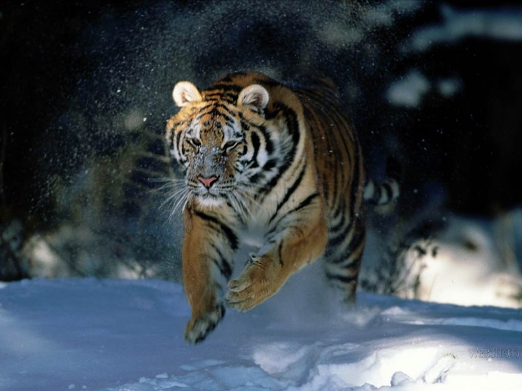 free siberean tiger wallpaper - animals town