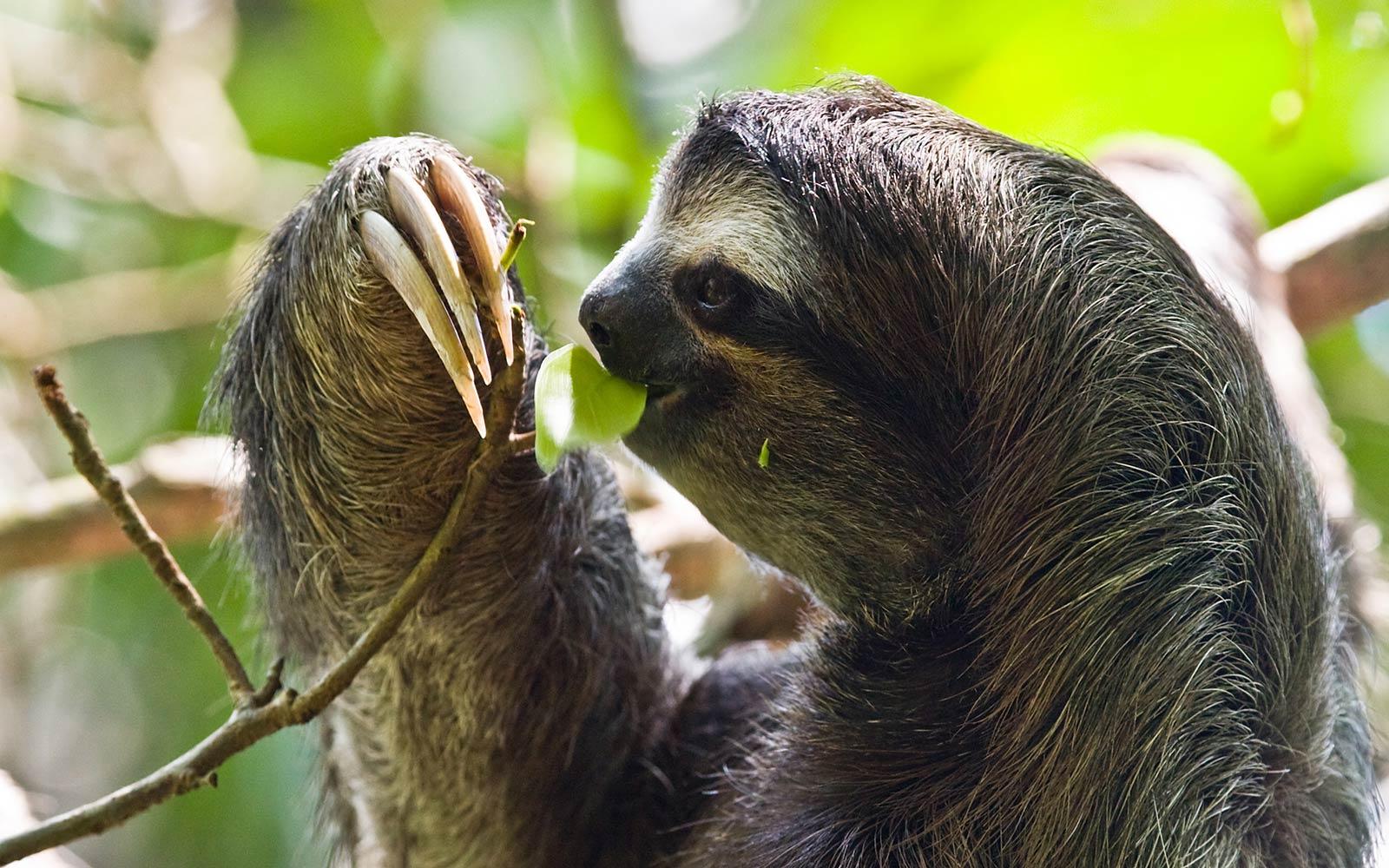 Free Sloth Wallpaper Wallpapers Download
