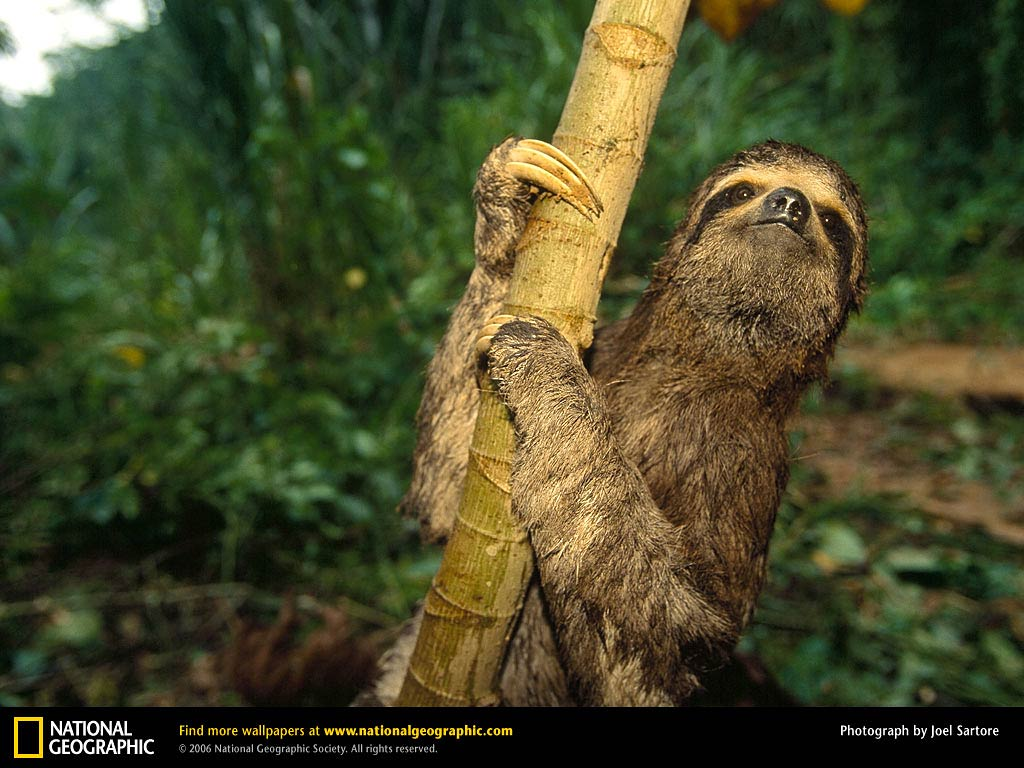 Free Sloth Wallpaper Wallpapers And Background