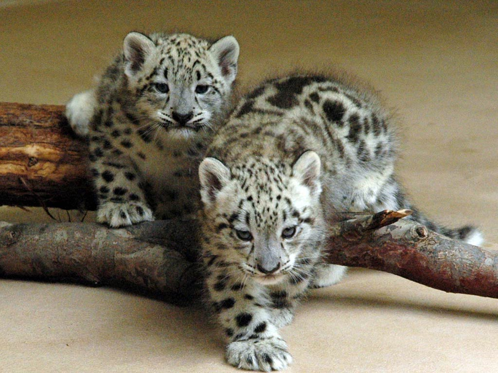 Snow Leopard Wallpapers Animals Town