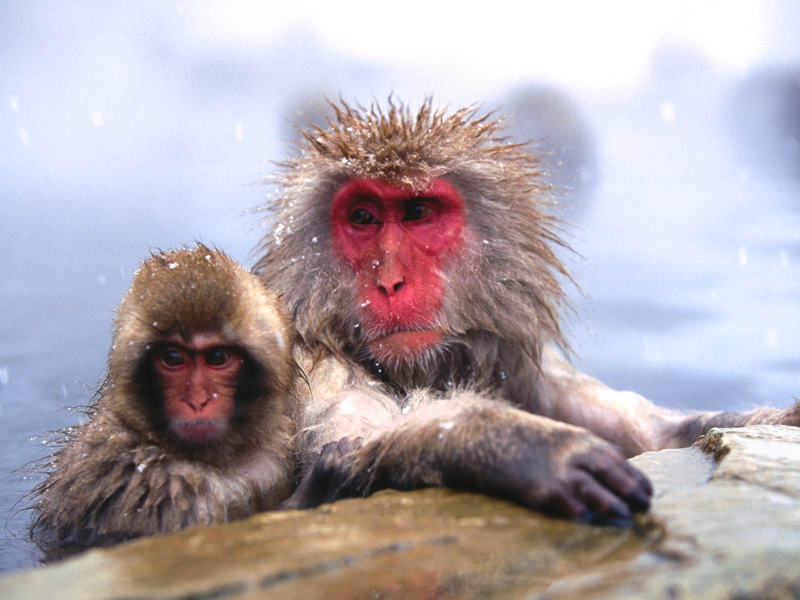 Free Snow Monkey Wallpaper Animals Town