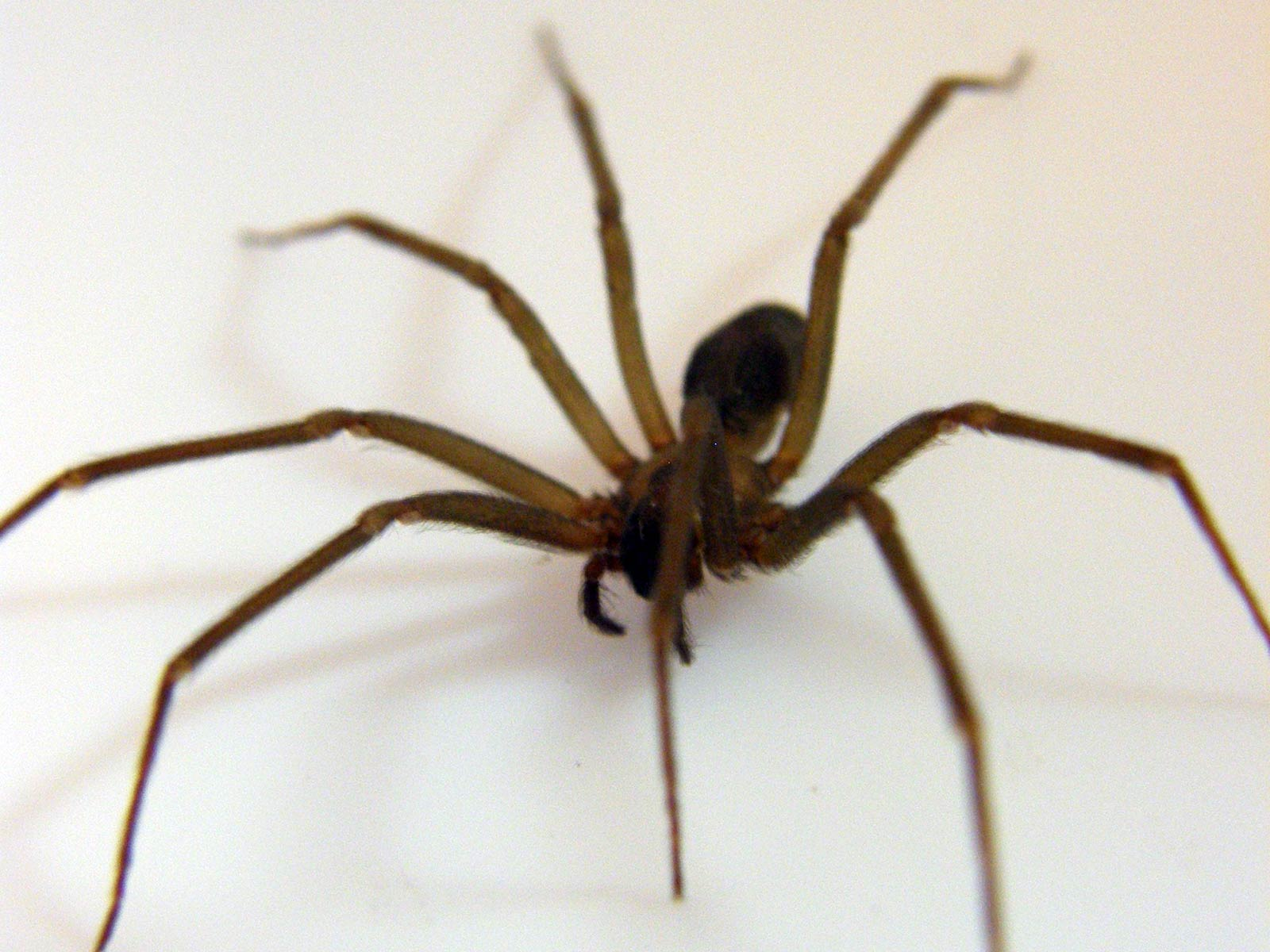 Spiders of recluse pictures brown
