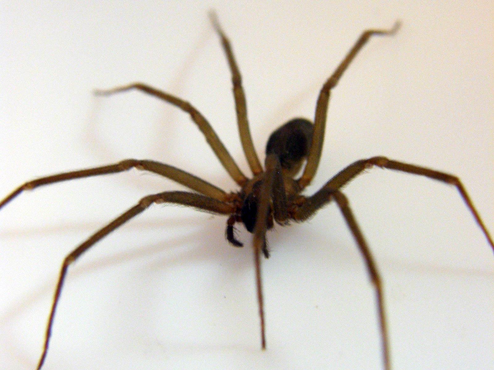 free spider
