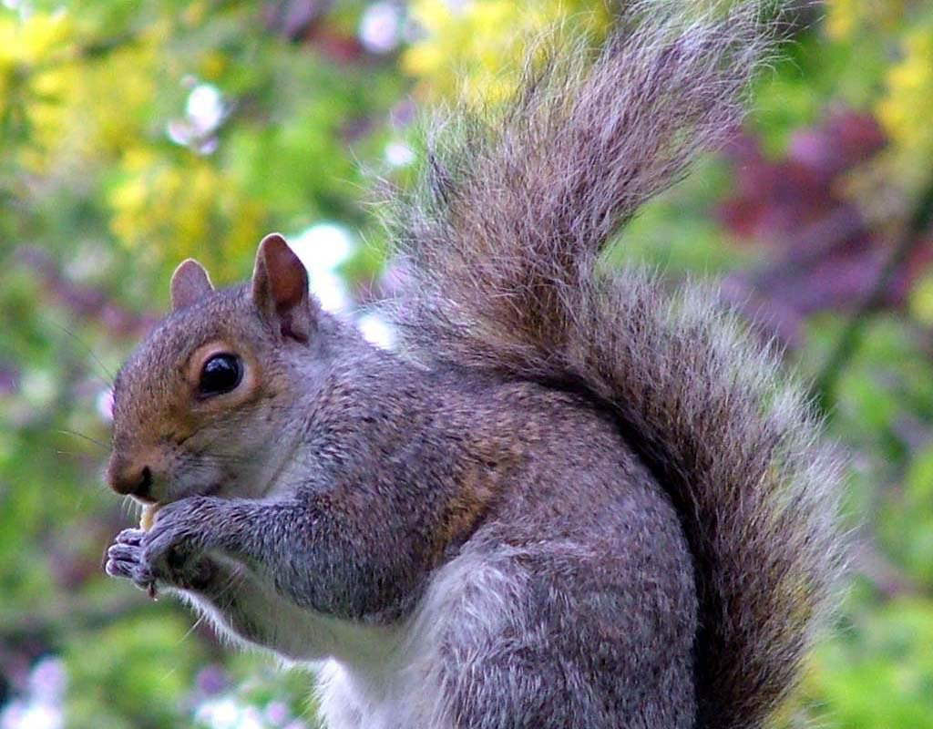 Squirrel Wallpapers Animals Town