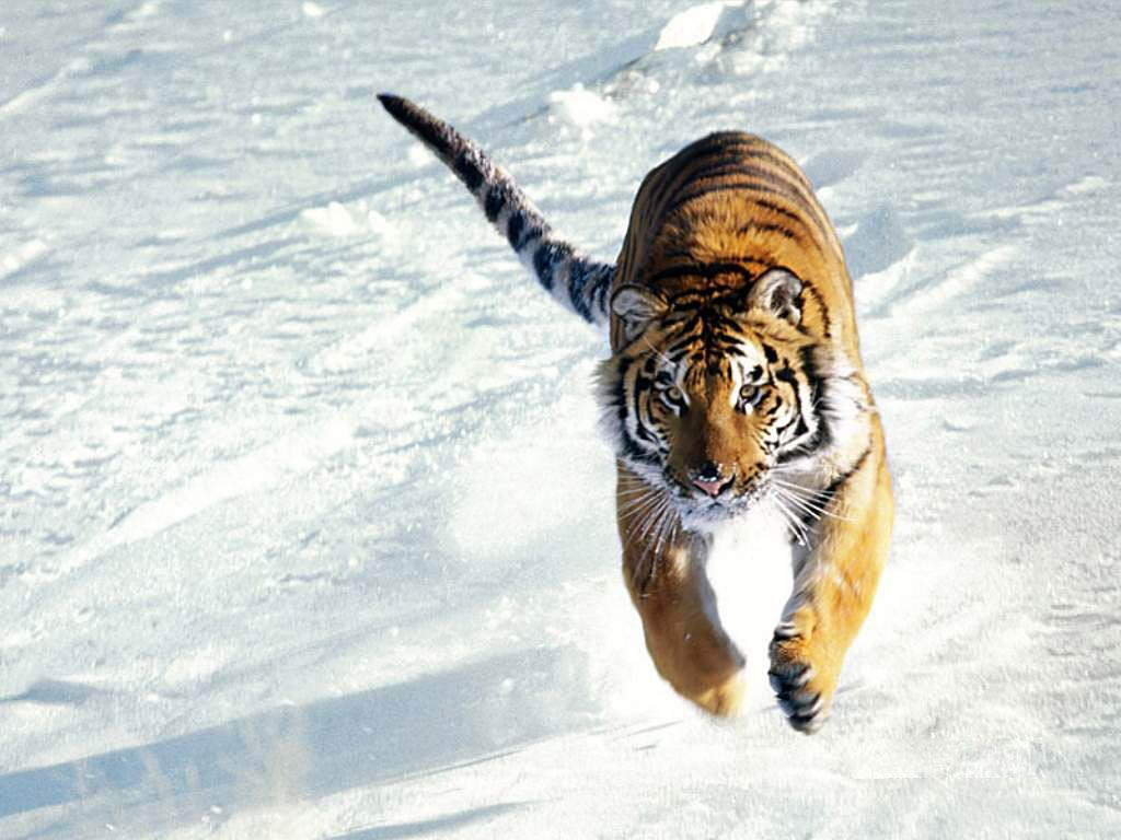 free tiger wallpaper download - animals town