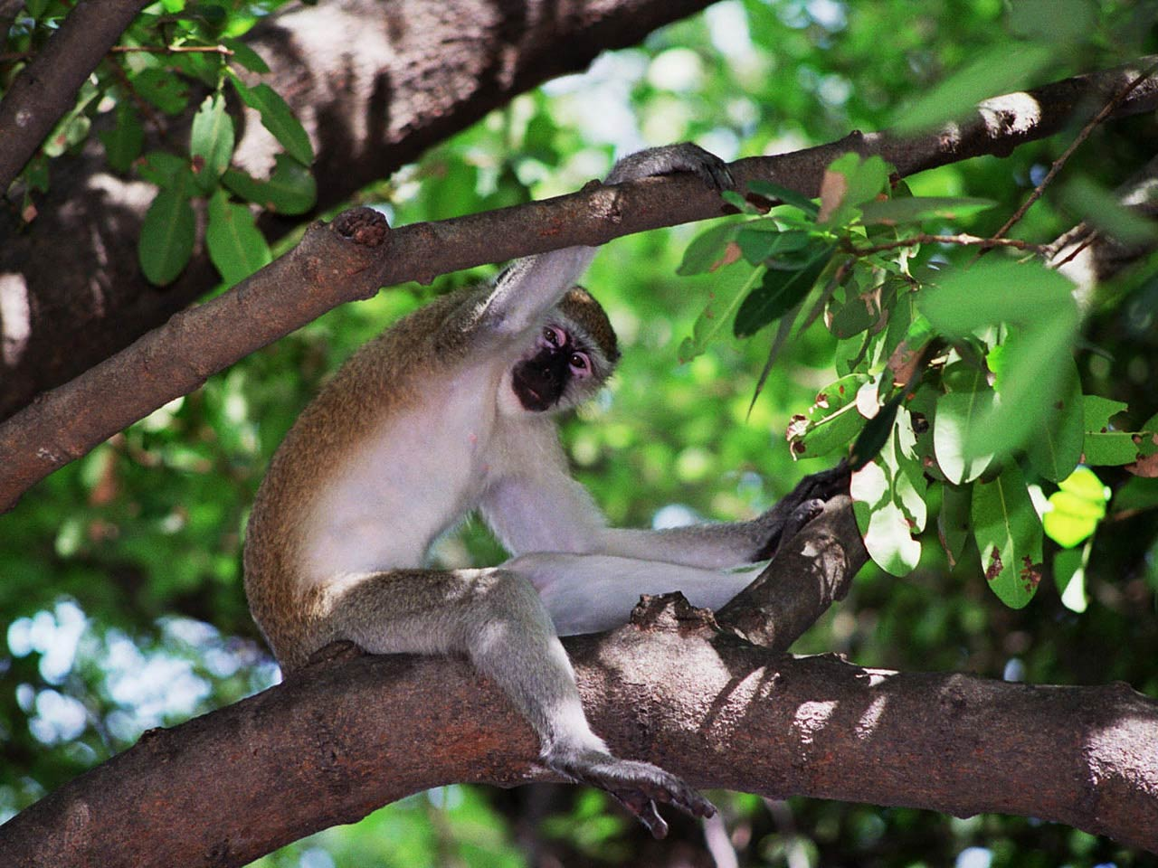 Free Vervet Monkey Wallpaper Wallpapers Download