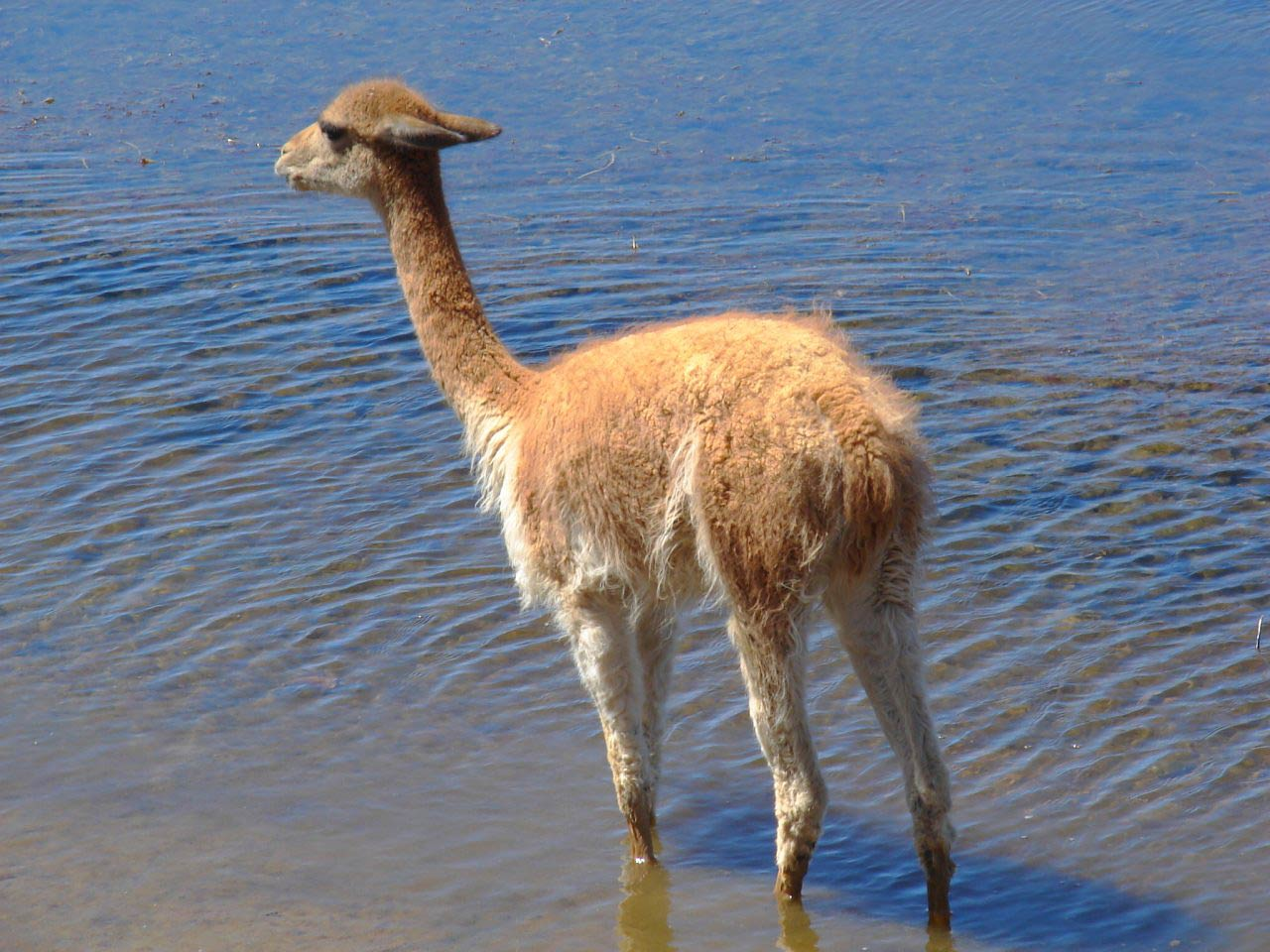 Vicuna Wallpaper Animals Town