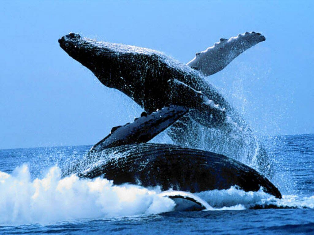 Free whale wallpaper download animals town free whale wallpaper wallpapers download voltagebd Gallery