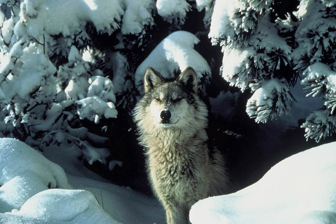 free Wolf wallpaper wallpapers download