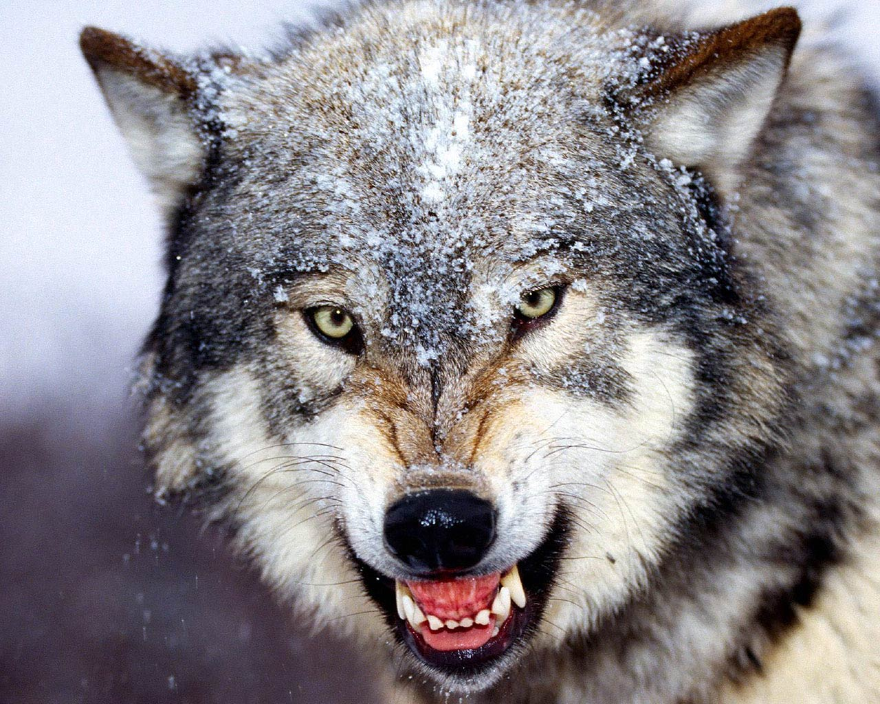 Free Wolf Wallpaper and Background. «