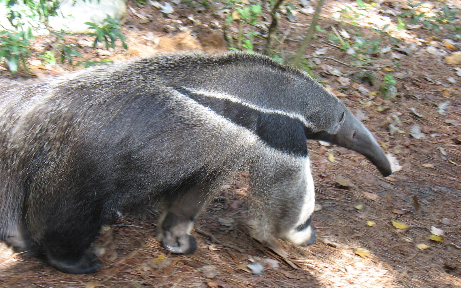 Xenarthra Wallpapers Animals
