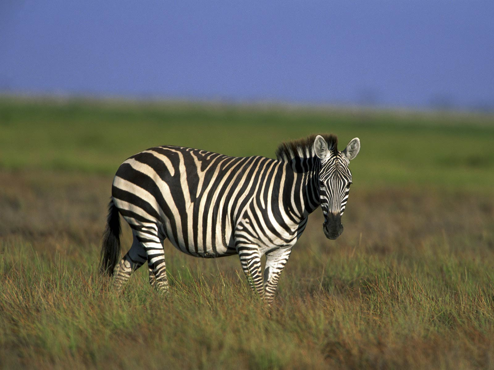 Coloring Pages For Zebra : Zebra wallpaper animals town